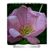 Nearly Spent Rose Shower Curtain