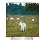 Nelore Beef Cattle Shower Curtain