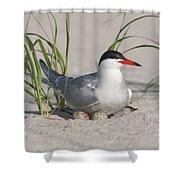 Nesting Common Tern Shower Curtain