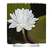 Nocturnal Blossom Of Victoria Lily Shower Curtain