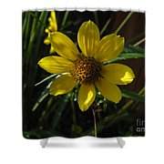Nodding Bur Marigold Shower Curtain