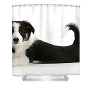 Odd-eyed Border Collie Pup Shower Curtain
