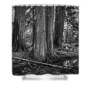 Old Growth Cedar Trees - Montana Shower Curtain