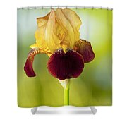 Old Time Two Toned Burgundy And Gold Iris Shower Curtain