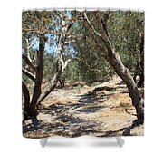 Olive Trees At Sebastia Shower Curtain