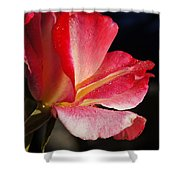 Open Rose After The Rain Shower Curtain