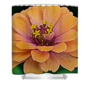 Orange Zinnia_9475_4267 Shower Curtain