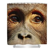 Orangutan Eyes Borneo Shower Curtain