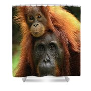 Orangutan Pongo Pygmaeus Female Shower Curtain