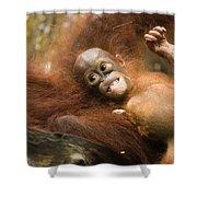 Orangutan Pongo Pygmaeus.  Juvenile Shower Curtain