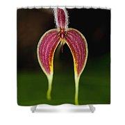 Orchid Bulbophyllum Blumei Flower Shower Curtain