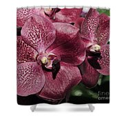 Orchid Vanda And Ascocenda Hybrid II Shower Curtain