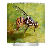 Oriental Fruit Fly Laying Eggs Shower Curtain