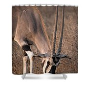 Oryx Oryx Beisa, Samburu National Shower Curtain