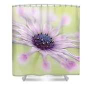 Osteospermum Whirligig Shower Curtain