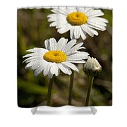 Ox-eye Daisy Wildflowers Drenched In Dew Shower Curtain