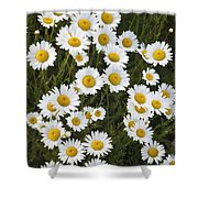 Ox-eyed Daisies, Banff National Park Shower Curtain