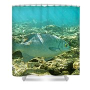 Pacific Chub 1080113.jpg Shower Curtain