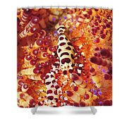 Pair Of Coleman Shrimp On A Red Shower Curtain