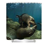 Pair Of Playful Sea Lions, La Paz Shower Curtain by Todd Winner