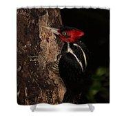 Pale-billed Woodpecker Shower Curtain