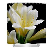 Pale Yellow Clivia Miniata Flowers Shower Curtain