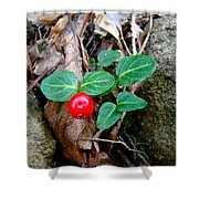 Partridge Berry Berry - Mitchella Repens Shower Curtain