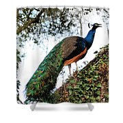 Peacock Calling Shower Curtain