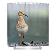 Pectoral Sandpiper Calidris Melanotos Shower Curtain