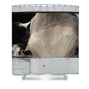 Peek-a-boo Cow Shower Curtain