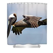 Pelican Prepares To Dive Shower Curtain