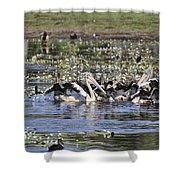 Pelicans At Knuckey Lagoon Shower Curtain