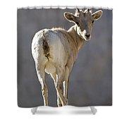 Peninsular Bighorn Sheep Ovis Shower Curtain