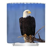 Perched Bald Eagle Shower Curtain