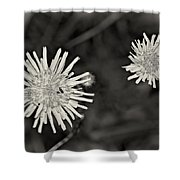 Perennial Sow-thistle Monochrome Shower Curtain