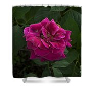 Perfect Red Rose Shower Curtain