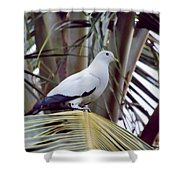 Pied Imperial Pigeon Shower Curtain