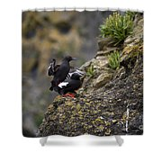 Pigeon Gillemot Mating Shower Curtain