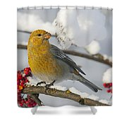Pine Grosbeak Pinicola Enucleator Shower Curtain