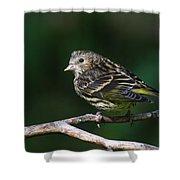Pine Siskin Shower Curtain