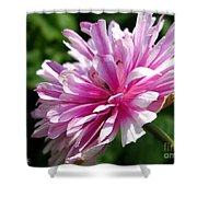 Pink Anemone From The St Brigid Mix Shower Curtain