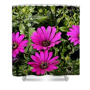 Pink Daisy's Shower Curtain