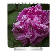 Pink English Rose Shower Curtain