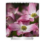 Pink Flowering Dogwood - Cornus Florida Rubra Shower Curtain