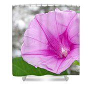 Pink Morning Glory Flower Shower Curtain