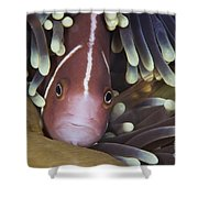 Pink Skunk Clownfish In Its Host Shower Curtain