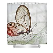 Pink-tipped Clearwing Satyr Cithaerias Shower Curtain