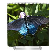 Pipevine Swallowtail Din003 Shower Curtain