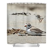 Piping Plover Mom And Two Babies Shower Curtain