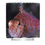 Pixy Hawkfish, Kimbe Bay, Papua New Shower Curtain